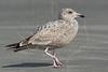 Herring Gull, 2nd Winter,<br /> East Beach, Galveston, Texas