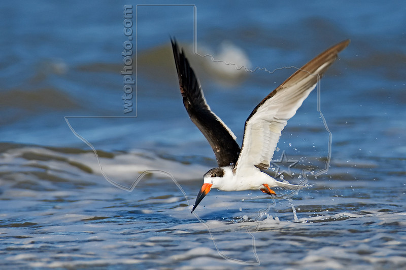 Black Skimmer, Flight,<br /> East Beach, Galveston, Texas