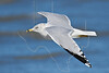 Ring-billed Gull, Flight,<br /> East Beach, Galveston, Texas
