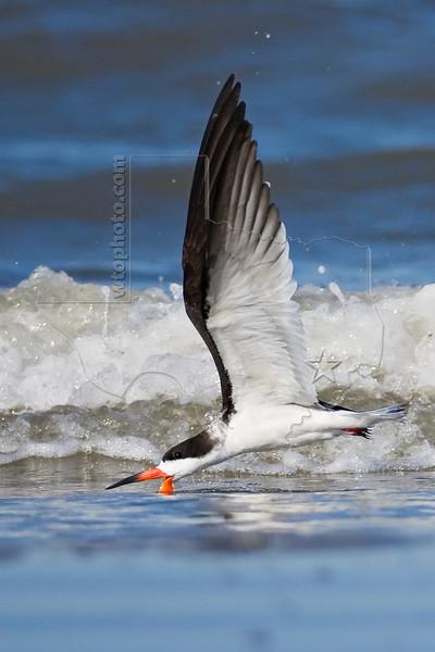 Black Skimmer, Skimming,<br /> East Beach, Galveston, Texas
