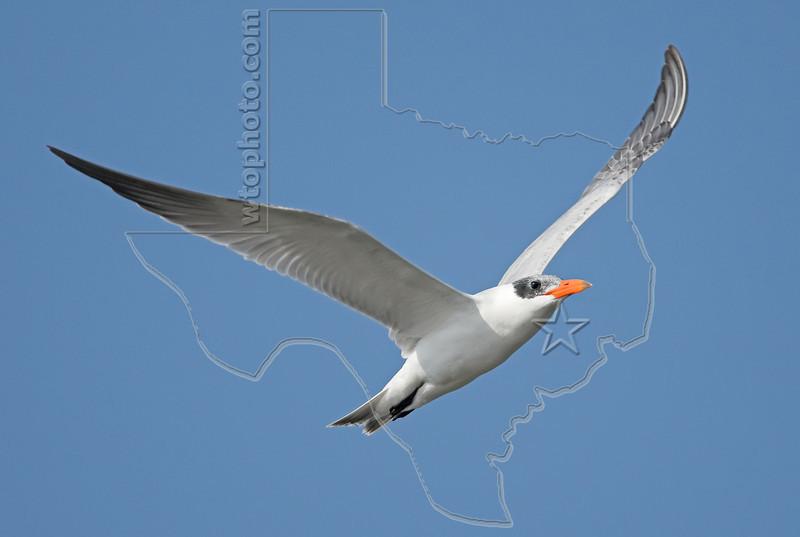 Royal Tern, Flight,<br /> Quintana Jetty, Freeport, Texas