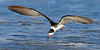 Black Skimmer, Skimming,<br /> East Beach, Galveston, Texas