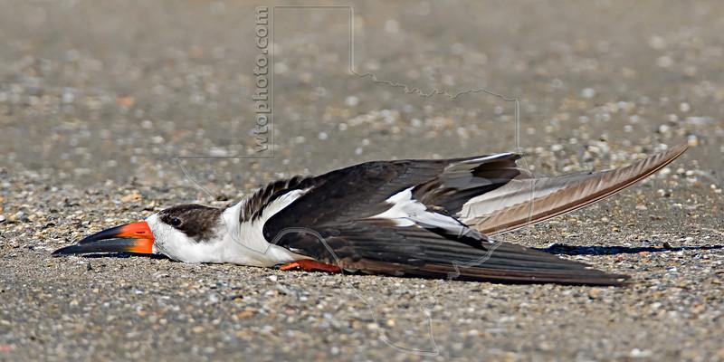Black Skimmer, Common Resting Pose<br /> East Beach, Galveston, Texas