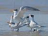Royal Terns, Breeding Frenzy,<br /> Bolivar Flats, Texas