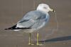 Ring-billed Gull,<br /> San Louis Pass, Texas