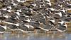 Black Skimmers Resting,<br /> East Beach, Galveston, Texas