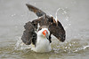 Black Skimmer, Bathing, Foggy Day,<br /> East Beach, Galveston, Texas
