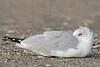 Ring-billed Gull, Resting,<br /> East Beach, Galveston, Texas