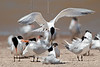 Sandwich Terns Mating Ritual ?,<br /> Bryan Beach, Quintana, Texas