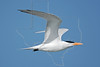 Royal Tern, Flight<br /> East Beach, Galveston, Texas