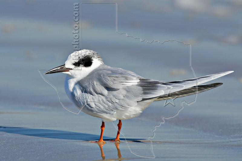 Forster's Tern,<br /> San Louis Pass, Texas