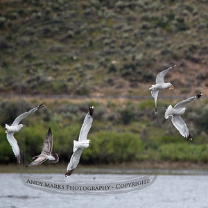 Gulls, Rockport Reservoir