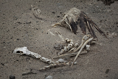 American Pelican (remains)