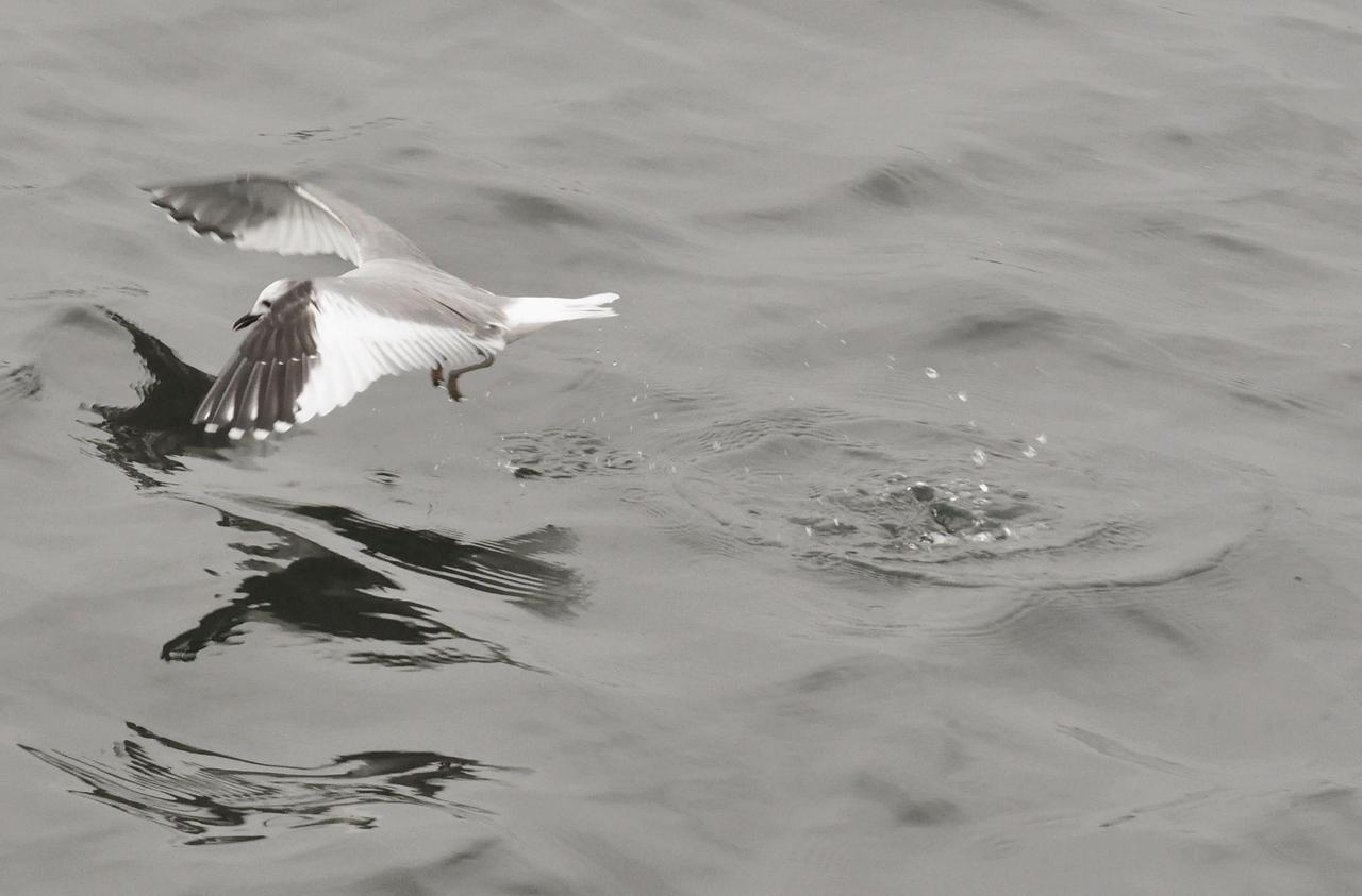 Sabine's Gull, Startops End July 2012