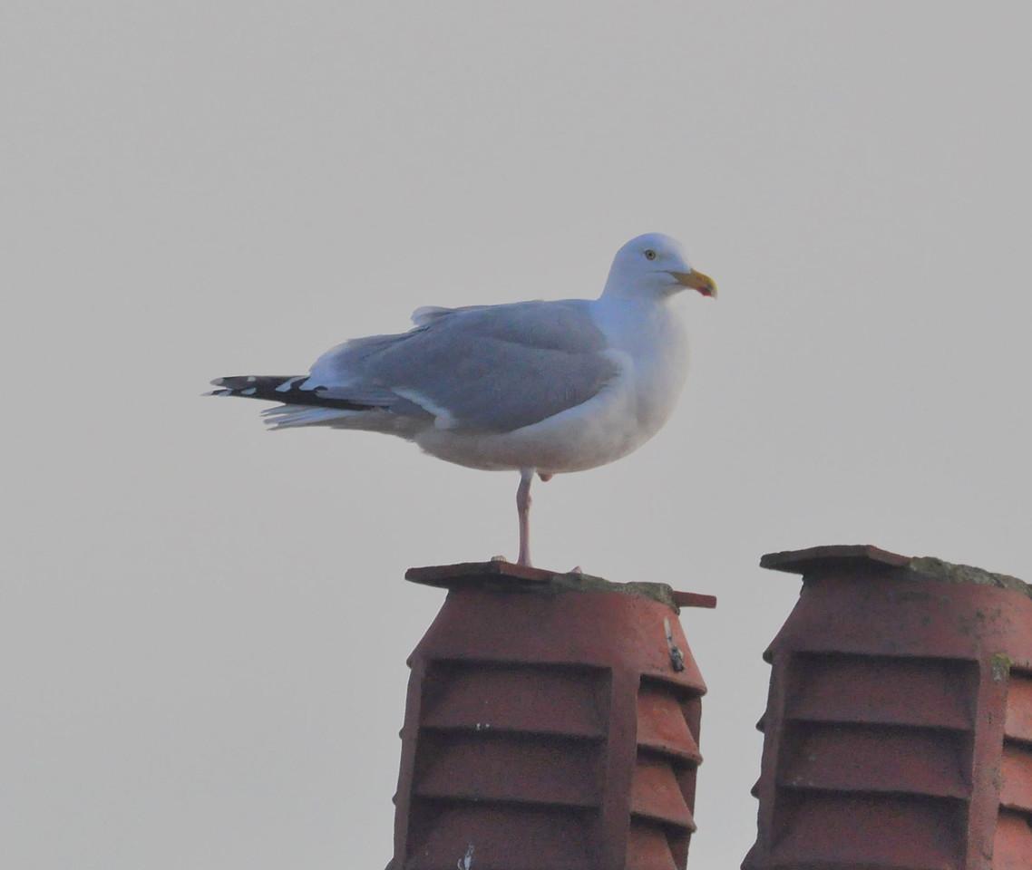Herring Gull April 2012