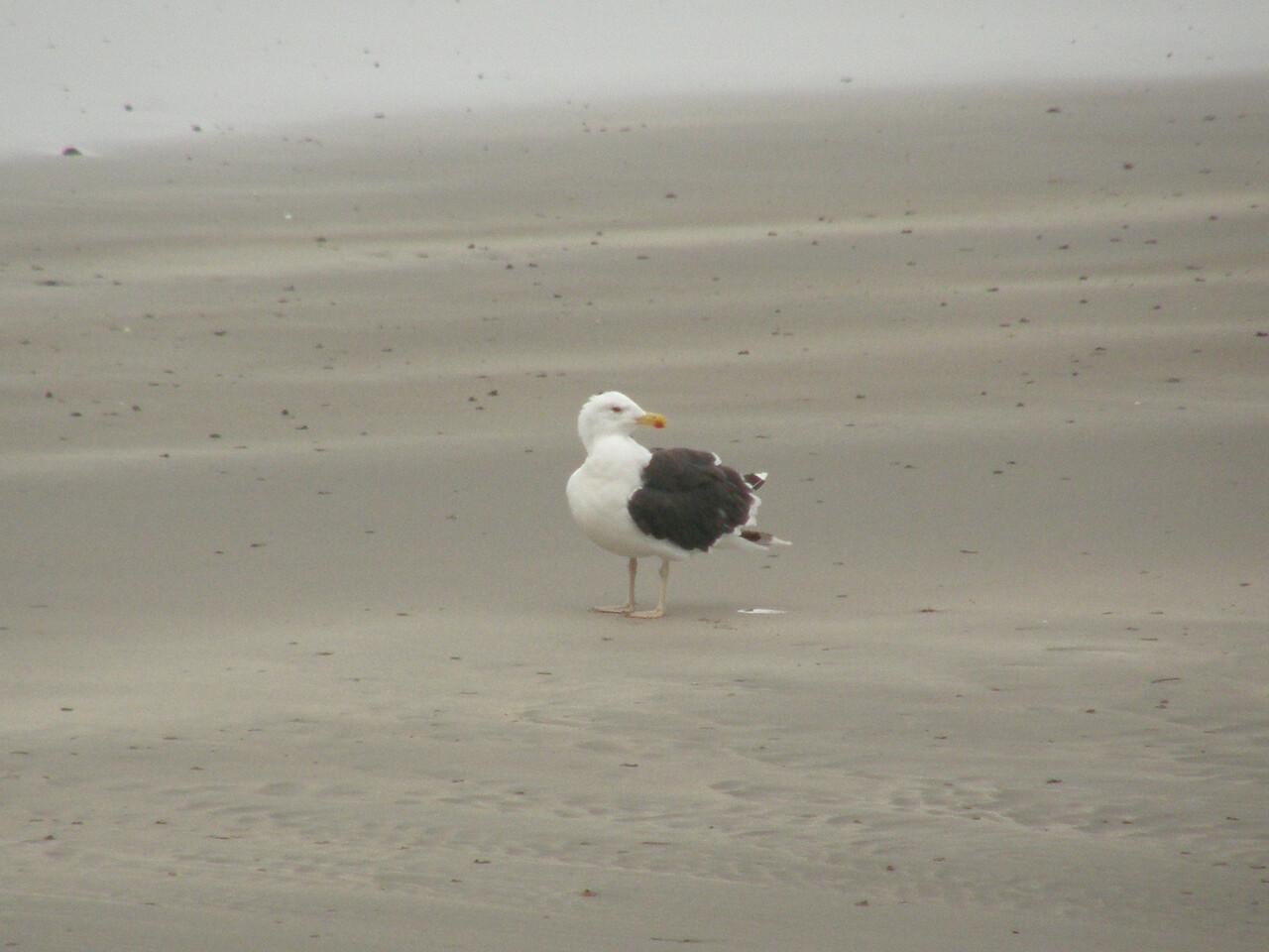 Great Black Backed Gull Scotland, Oct 2009
