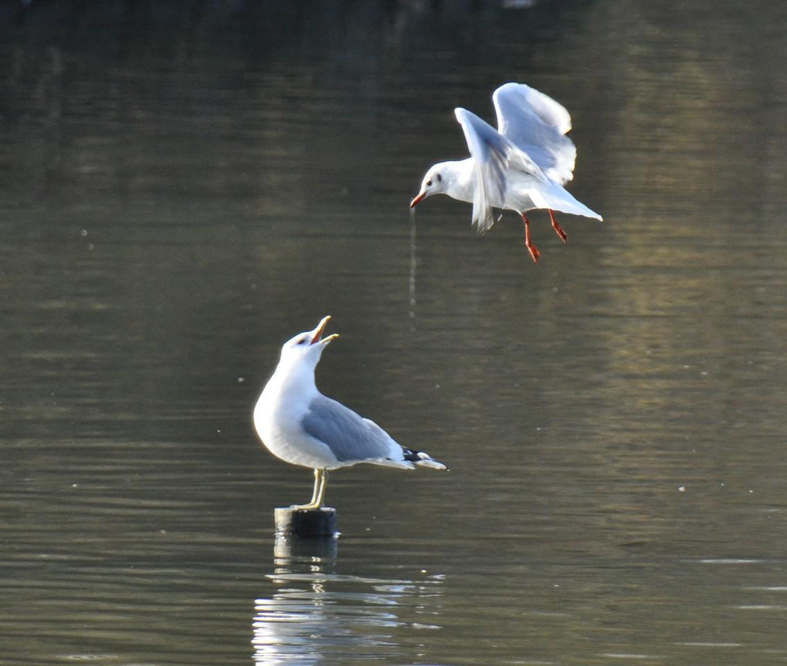 Common gull Mill Pond Bracknell Feb 2010