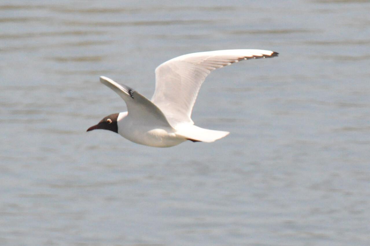Mediteranean Gull in flight  Marlow March 2011