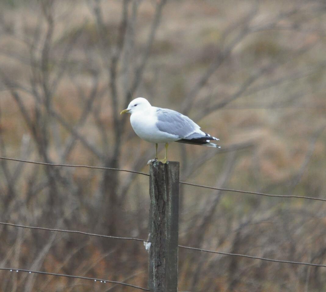 Common Gull, Scotland May 2012
