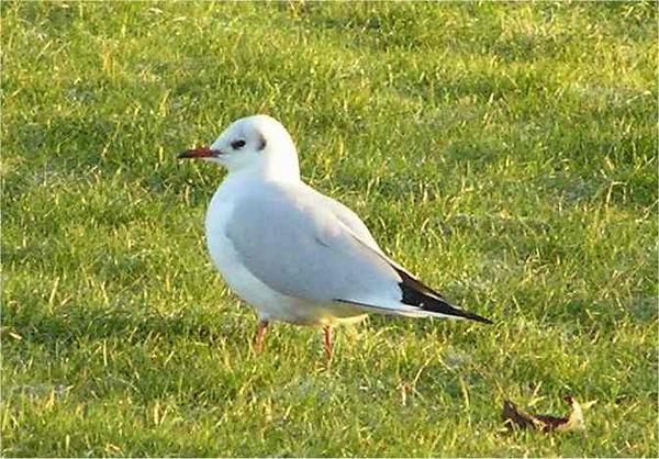 Black Headed Gull High Wycombe Dec 2005