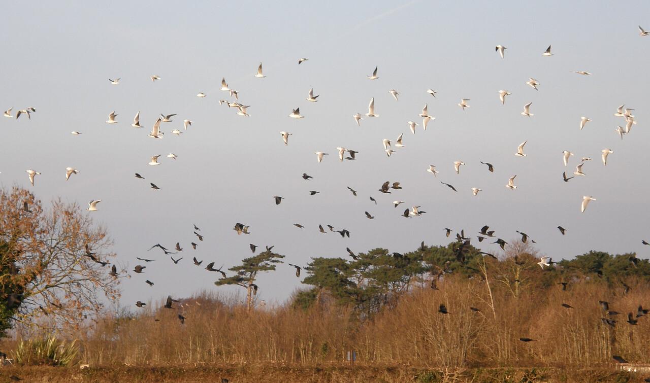 Herring Gulls Minehead Apr 2009