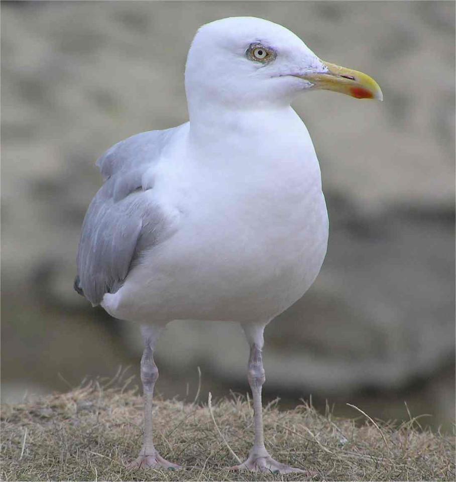 Herring Gull Bournemouth Aug 2006