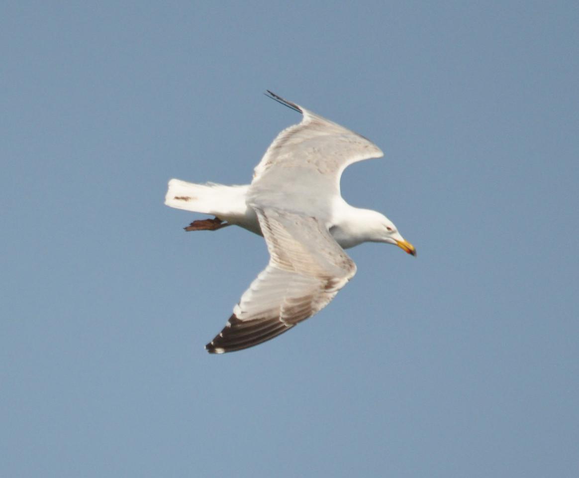 Herring Gull Bempton April 2011