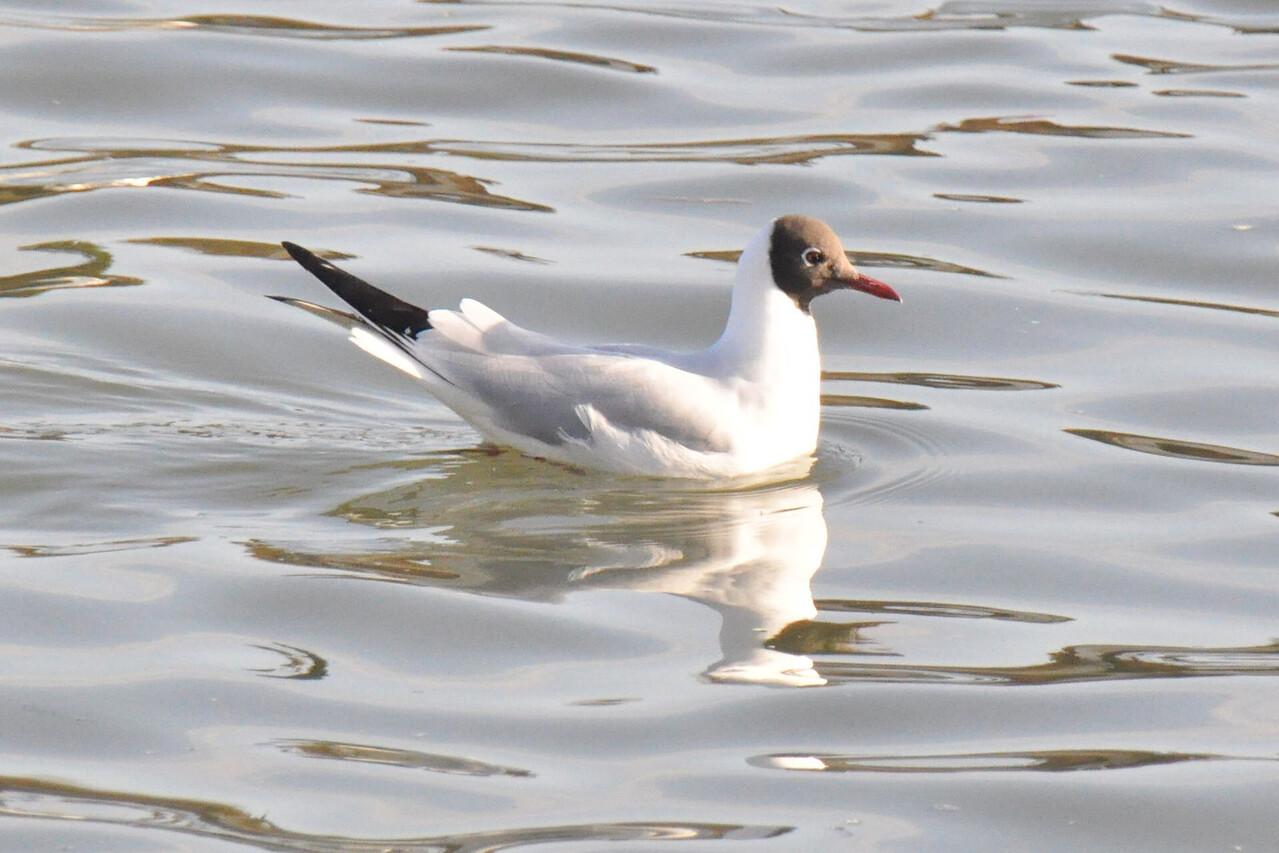 Mediteranean Gull 2 Marlow March 2011