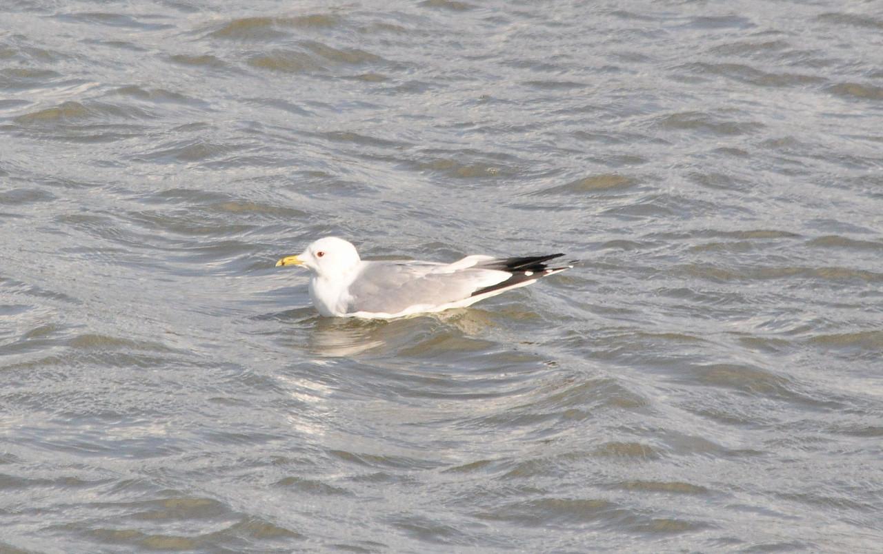Common Gull Startops End Feb 2012