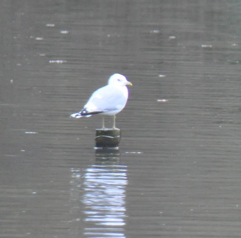 Common Gull Mill Pond Feb 2010