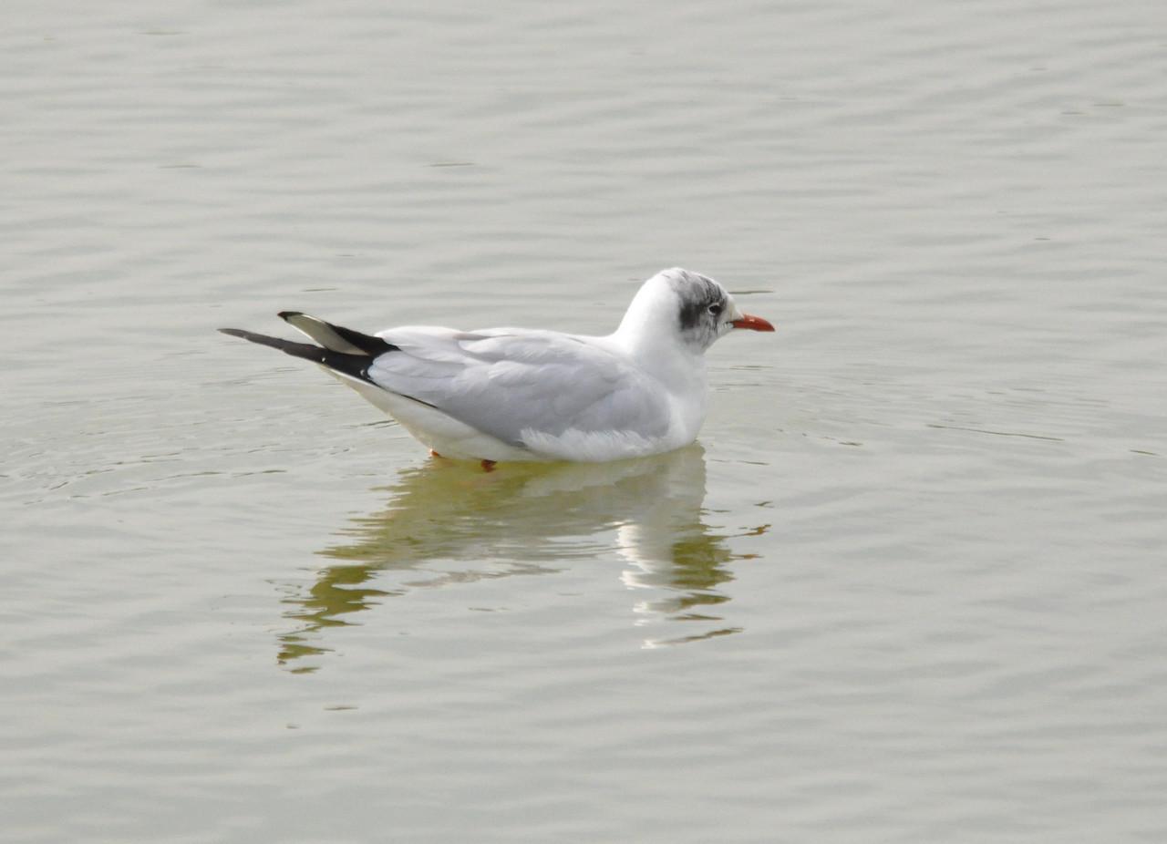 Black Headed Gull Tyttenhanger April 2011