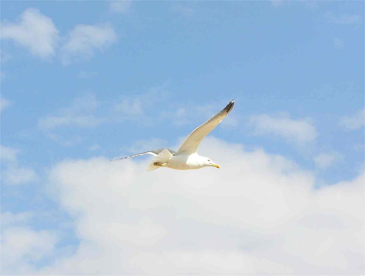 Herring Gull Norfolk May 2005