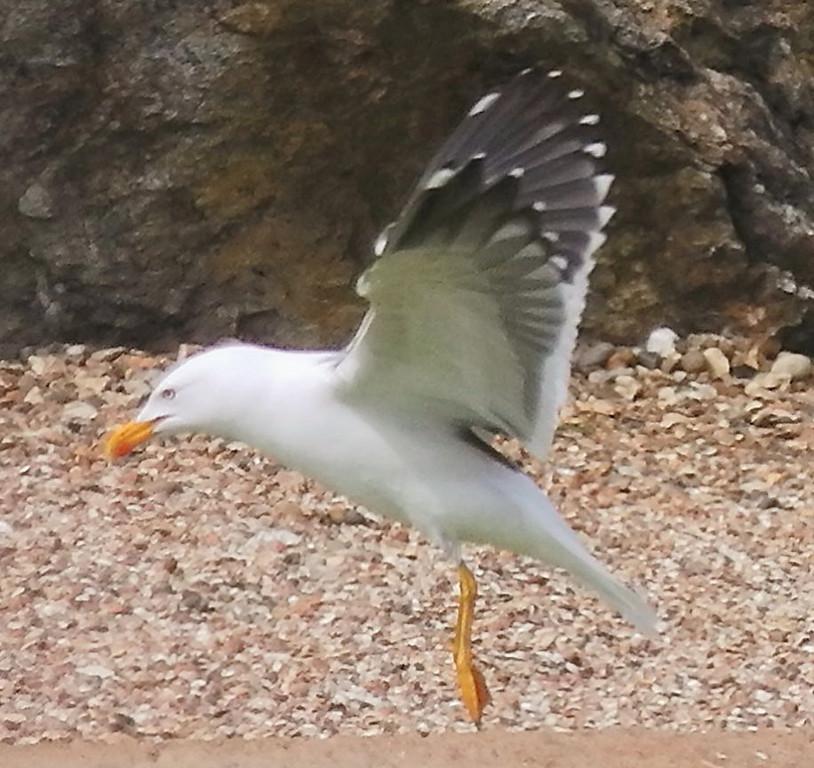 Herring Gull Whipsnade May 2012
