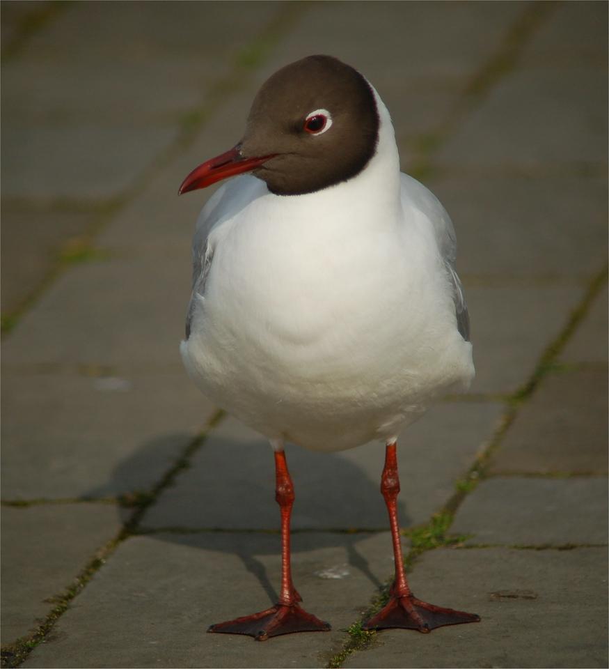 Black headed Gull Lymington Mar 2007