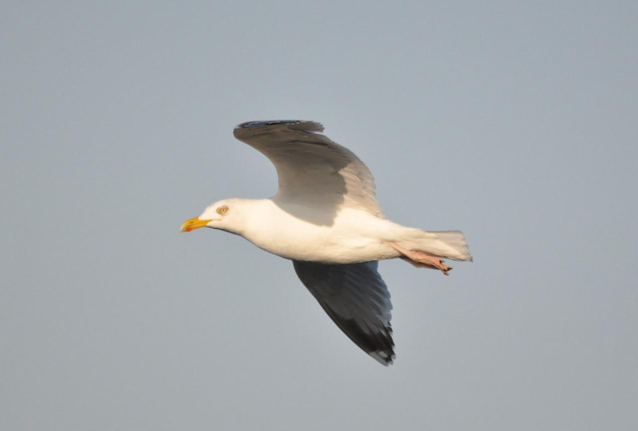 Herring Gull in flight Flamborough April 2011