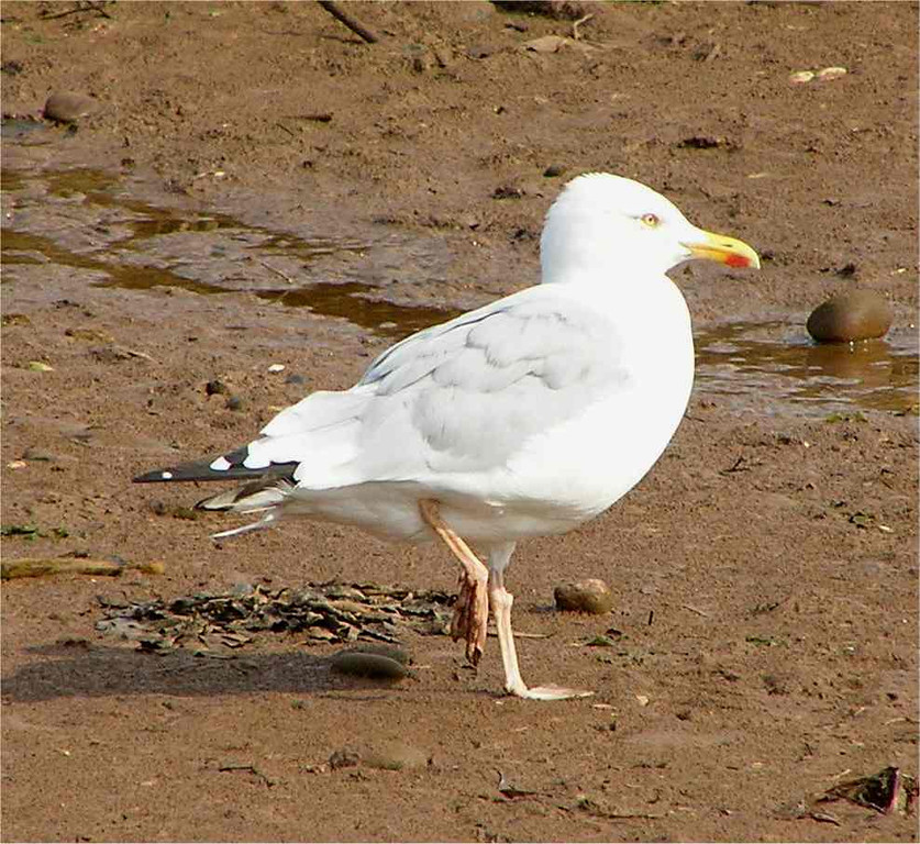 Herring Gull Budleig Sept 2006