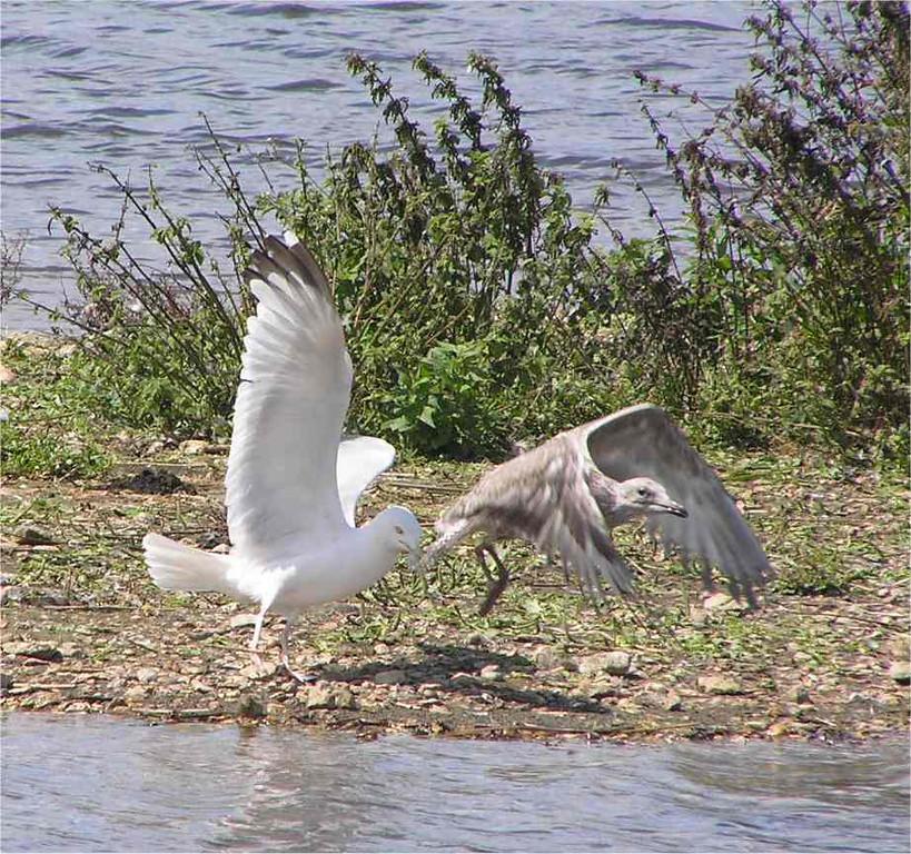 Herring Gull Radipole Aug 2006
