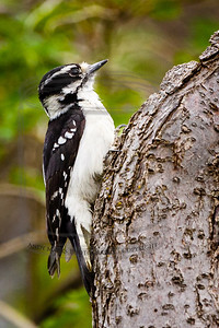 Hairy woodpecker, so called because of the feathers at the base of its bill. I hadn't seen one of these before.