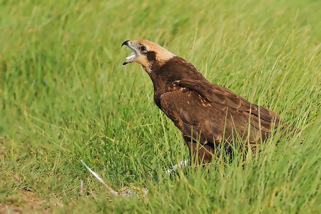 Harriers - זרונים