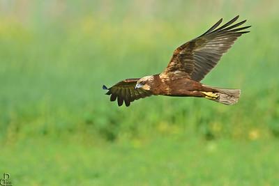 Marsh Harrier - זרון סוף