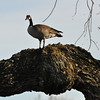 This was a bit odd.  This goose was stnading on a large oak tree branch about 10 feet off the ground.
