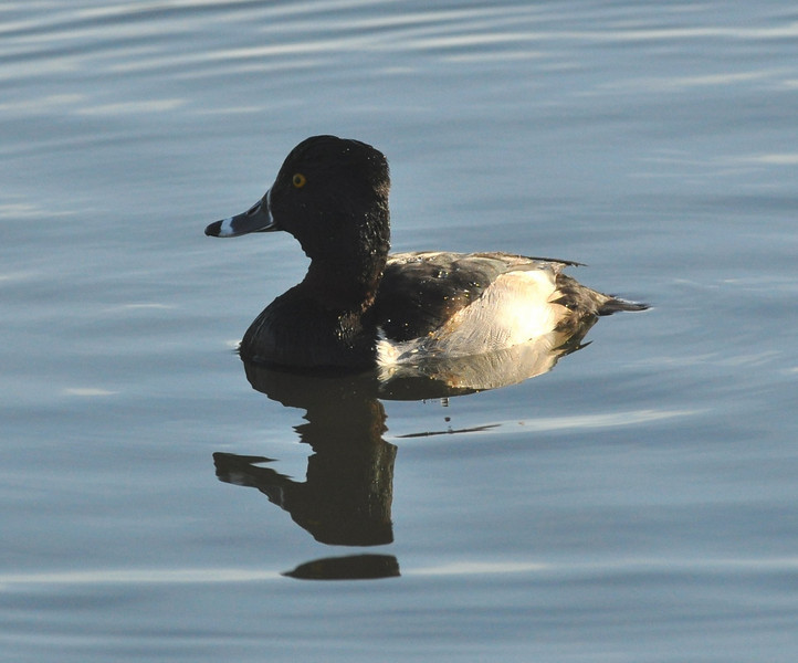 A ring neck duck I think.   I find short bodies ducks quite amusing.  There were several pairs of  bufflehead ducks on the lake too but I never had the light in the right place to get a picture.