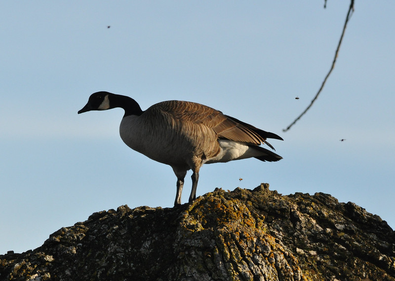 Ever odder was the place the goose chose.  It is standing on an active bee hive.  You can see the bees flying around it.  The goose did not seem concerned,  It stayed on the limb until a woman with a dog came too close.