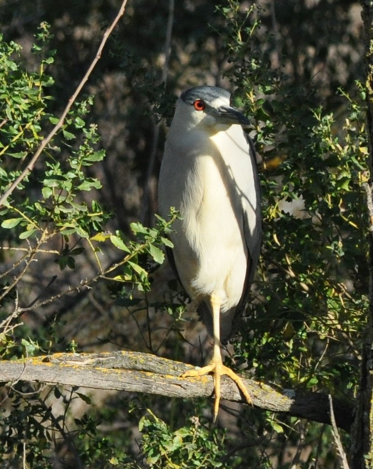 The monopod.  This black crowned night heron had already picked its roosting spot for the night on the island.