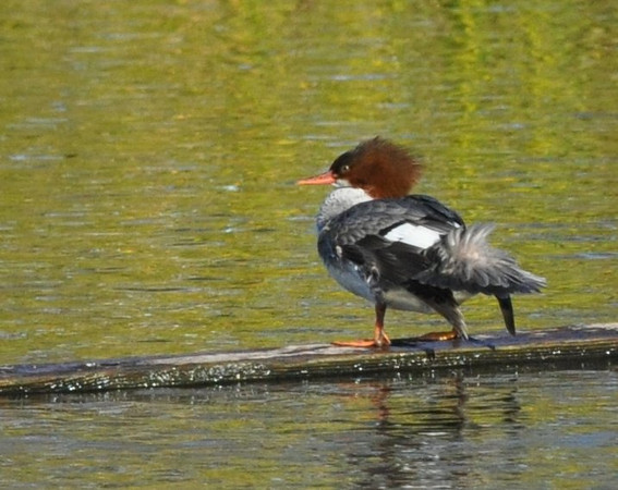 This was the surprise of the day for me.  This common merganser was quite taken with a wooden beam anchored in the lake. It climbed on the beam, preened and stood there for awhile.  Then back into the water for a swim.  Then back to the beam again.