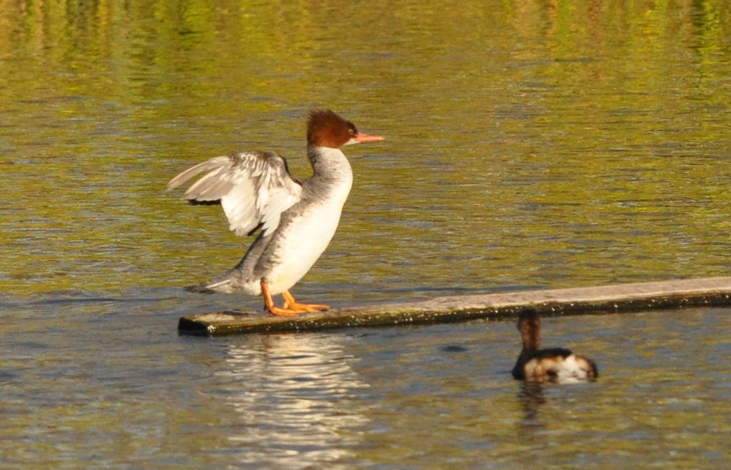 The merganser was really feeling its oats standing on the beam.