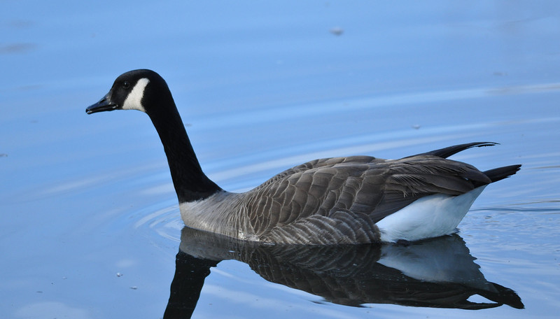 Canada geese are practically a plague in the park.  You do have to give them credit for handsome attire.  the blue water was of interest to me.