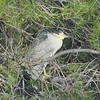 Another night heron wanted a bit more privacy for its night's sleep.