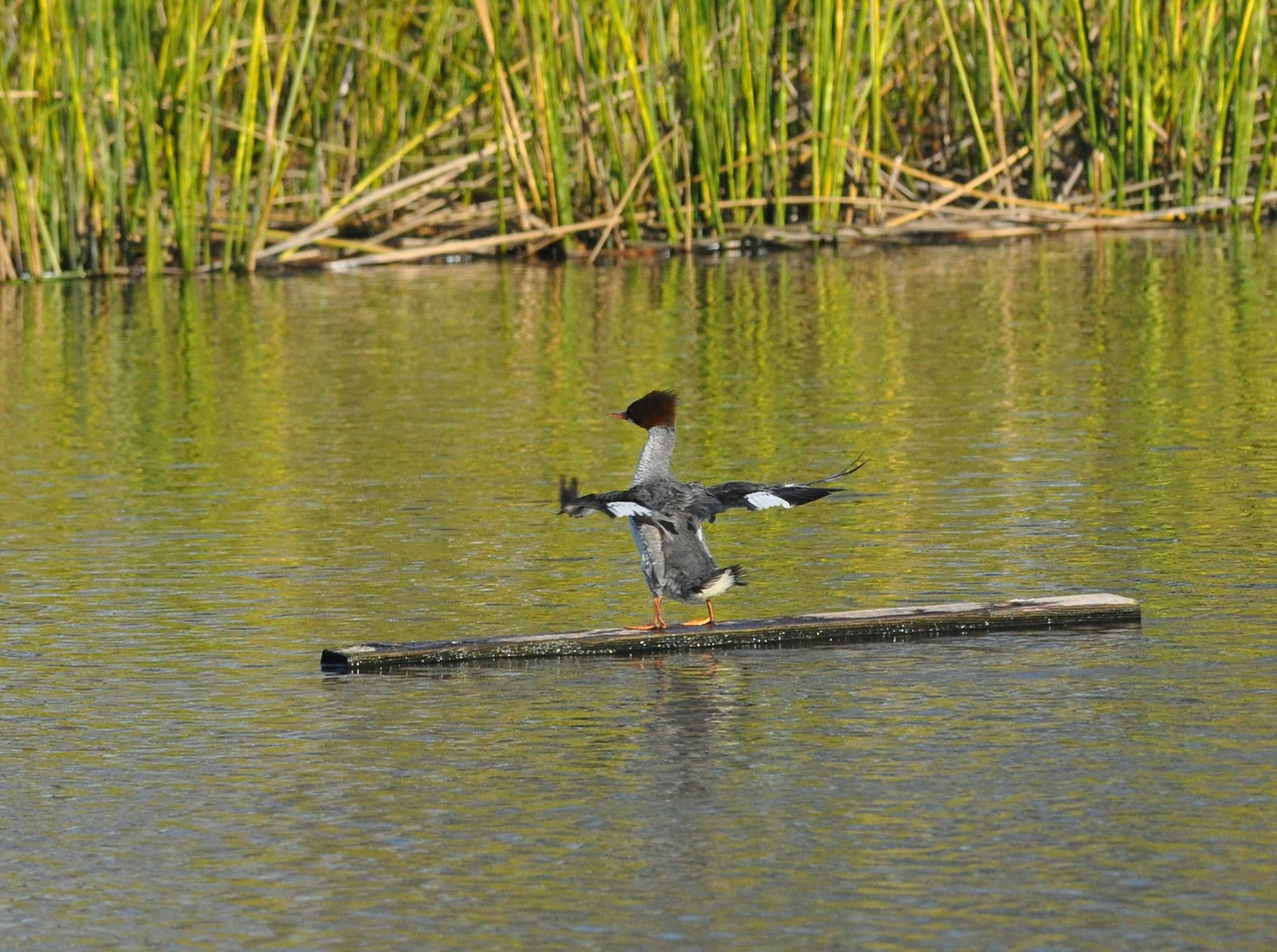 Stretching and flapping its wings.  I was rather far away for this lens but I did get some shots of the merganser.  <br /> <br /> Bits are cheap. Take the picture and worry about perfection later.