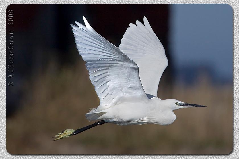 Garça-branca-pequena (Egretta garzetta) - Ria de Aveiro Little Egret - Aveiro Lagoon